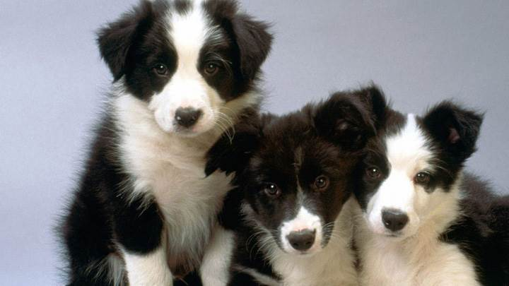 Black And White Border Collie Pups